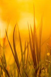 Nahaufnahme von Grashalmen im Frühling im warmen goldenen Licht der untergehenden Sonne.