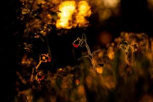 Rote Lichtnelke, auch Rotes Leimkraut, Rote Nachtnelke, Waldnelke, Taglichtnelke oder Herrgottsblutt genannt, im Gegenlicht der untergehenden Sonne im Alpenvorland ind einer Blumenwiese im warmen Licht der Sonne.