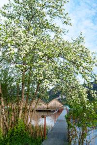 Frühling mit weißen Blüten am Kochelsee. Die Fischerhütten von Schlehdorf am Ende eines Steg, der Eingang umrahmt von Blüten, im Hintergrund die Alpen.