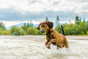 """Ein springender Hannoverscher Schweißhund mit Namen """"Rüpel"""", eine anerkannte Zuchtrasse, im Waser eines alpinen Flußes, im Hintergrund die Berge"""