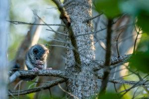 Ein wilder Siebenschläfer im Geäst eines Waldes bei der Fellpflege, er hält sich seine Hände vor das Gesicht beim Putzen.