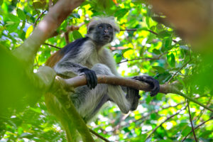Tanzania, Zanzibar Archipelago, Unguja island (Zanzibar), Zanzibar red colobus monkey (Procolobus badius kirkii)