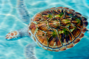 Green sea turtle, Chelonia mydas, taking a breath on the surface in Akumal bay, Mexico