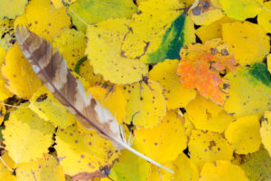 Autumn leaves, Tawny Owl feather on yellow leaves, Fisciano, Campania, Italy