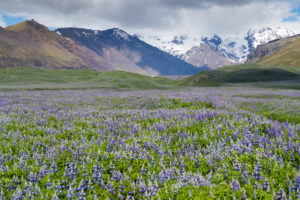 Icelandic landscape, field of Nootka Lupine with snowy mountains in the background