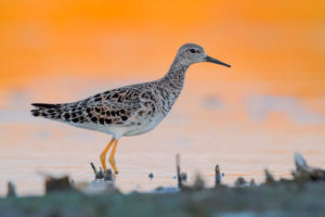 Ruff (Philomachus pugnax), adult standing in the water at sunset