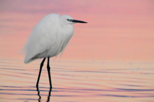 Little Egret (Egretta garzetta), adult in winter plumage standing in the water before the sunrise