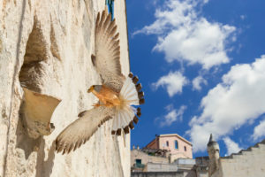 Lesser Kestrel (Falco naumanni), adult male arriving at nest in Matera