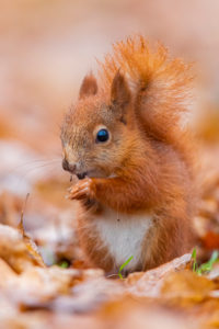 Squirrel [Sciurus vulgaris], side view of a Jugtier on Foraging, Masovia, Poland