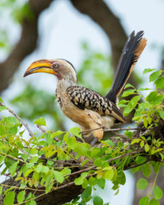Southern Yellow-billed Hornbill (Lamprotornis leucomelas), side view of an adult perched on a branch, Mpumalanga, South Africa