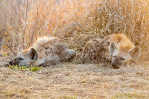 Spotted Hyena (Crocuta crocuta), two cubs sleeping, Mpumalanga, South Africa