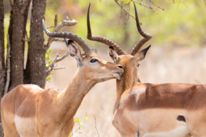 Impala (Aepyceros melampus), two adult males in mutual grooming, Mpumalanga, South Africa