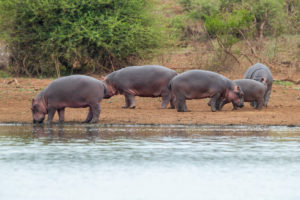Hippopotamus (Hippopotamus amphibius), a herd grazing at the edge of a pool, Mpumalanga, South Africa