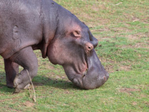 Hippopotamus (Hippopotamus amphibius), close-up of an adult grazing in a pasture, Mpumalanga, South Africa