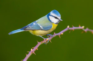Eurasian Blue Tit (Cyanistes caeruleus), side view of an adult perched on a Blackberry branch , Campania, Italy
