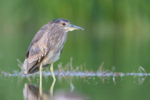 Black-crowned Night Heron (Nycticorax nycticorax), second calendar year juvenile standing in the water, Campania, Italy