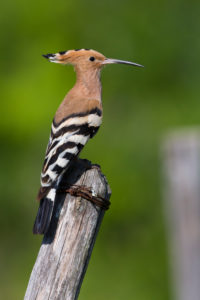 Eurasian Hoopoe (Upupa epops), side view of an adult perched on a post, Campania, Italy