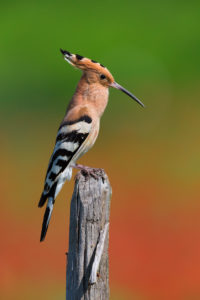 Eurasian Hoopoe (Upupa epops), side view of an adult singing from a post, Campania, Italy
