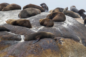 Cape Fur Seal (Arctocephalus pusillus), individuals resting on a rock, Western Cape, South Africa