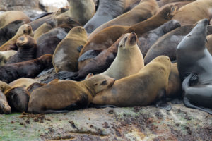 Cape Fur Seal (Arctocephalus pusillus), individuals in a colony, Western Cape, South Africa