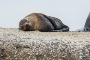 Cape Fur Seal (Arctocephalus pusillus), female resting on a rock, Western Cape, South Africa