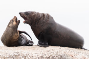 Cape Fur Seal (Arctocephalus pusillus), a male and a female close to each other, Western Cape, South Africa