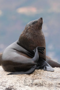 Cape Fur Seal (Arctocephalus pusillus), adult male scratching its neck, Western Cape, South Africa