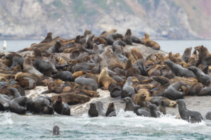 Cape Fur Seal (Arctocephalus pusillus), colony near Hout Bay, Western Cape, South Africa