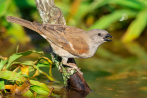 Southern Grey-headed Sparrow (Passer diffusus), adult in breeding plumage drinking in a pool, Mpumalanga, South Africa