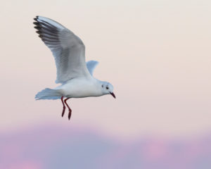 Black-headed Gull (Chroicocephalus ridibundus), Adult in winter plumage in flight, Campania, Italy