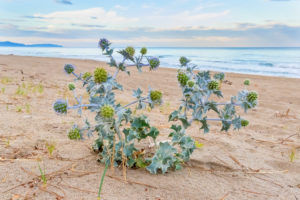 Sea Holly (Eryngium maritimum), a plant on the beach with the sea in the background, Campania, Italy