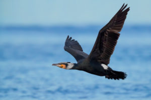 Great Cormorant (Phalacrocorax carbo sinensis), side view of an adult in breeding plumage in flight over the sea, Campania, Italy