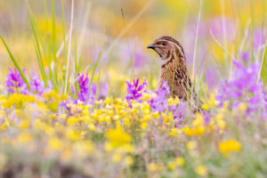 Common Quail (Coturnix coturnix),  adult male singing among flowers, Campania, Italy