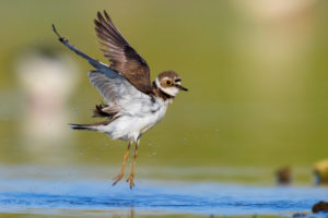Little Ringed Plover (Charadius dubius), side view of an adult female in flight, Campania, Italy