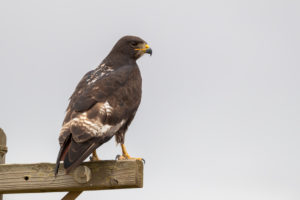 Jackal Buzzard (Buteo rufofuscus), adult perched on a post seen from the back, Western Cape, South Africa