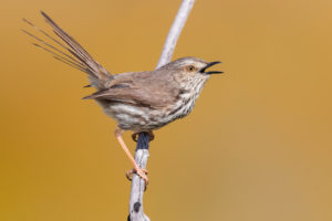 Karoo Prinia (Prinia maculosa), adult singing from a dead branch, Western Cape, South Africa
