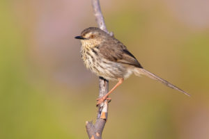 Karoo Prinia (Prinia maculosa), side view of an adult perched on a branch, Western Cape, South Africa