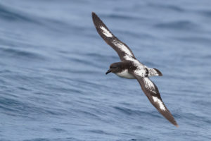 Cape Petrel (Daption capense), individual in flight over the sea, Western Cape, South Africa