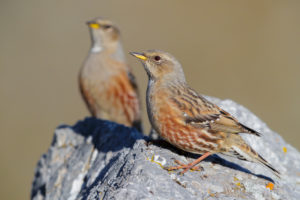 Alpine Accentor (Prunella collaris), two adults perched on a rock, Trentino-Alto Adige, Italy