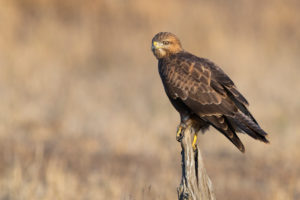 Steppe Buzzard (Buteo buteo vulpinus), adult perched on an dead trunk, Mpumalanga, South Africa