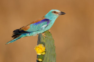 European Roller (Coracias garrulus), side view of an adult male perched on a Prickly Pear, Campania, Italy