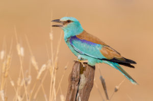 European Roller (Coracias garrulus), side view of an adult male perched on a post, Campania, Italy