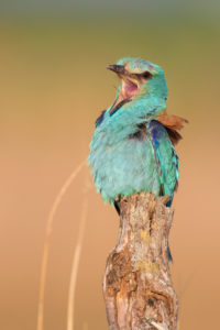 European Roller (Coracias garrulus), adult  male perched on a dead trunk, Campania, Italy