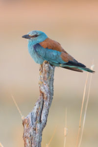 European Roller (Coracias garrulus), adult female perched on a dead trunk, Campania, Italy