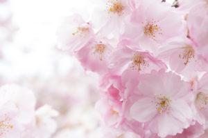 Japanese cherry blossoms in the sunlight (Prunus serrulata, Rosaceae)