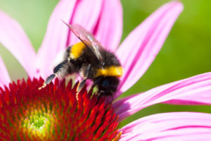 purple coneflower with a bumblebee