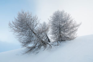 Frozen trees after a snowfall, winter mood, Falcade, Valles pass, Belluno, Veneto, Italy
