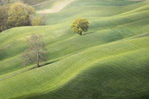 einsame Bäume im Grün der sanften Hügel der Crete Senesi, Asciano, Siena, Toskana