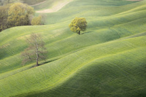 lonely trees in the green of the rolling hills of Crete Senesi, Asciano, Siena, Tuscany