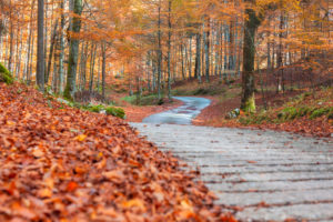 Road in the heart of the beech forest in autumn, colorful foliage in the Cansiglio forest, Alpago, Belluno, Veneto, Italy